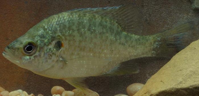 redear sunfish, lepomis microlophus