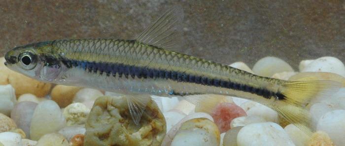 Document Center / Local Fish Community - Sand shiner (Notropis ...