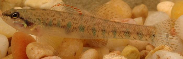 Fishes of Texas - Etheostoma fusiforme
